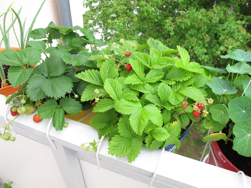 Jahody na balkóně